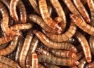 Live maggot found in athlete's food at Youth Olympic Village